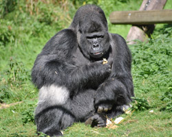 DHL Air (UK) Djala (gorilla)(LR)