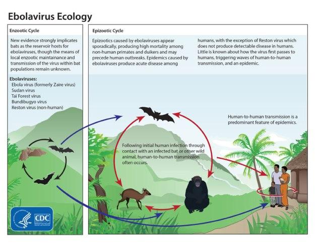 Ebola life cycle (CDC)(LR)